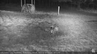 ŻubryOnline  Wisents 2017-10-19 Roe Deers and Bison 19:04