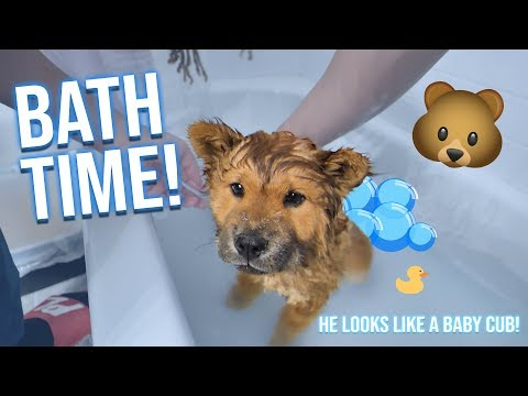 Chow Chow Puppy gets his FIRST BATH