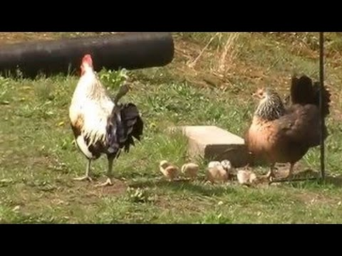 RAISING FREE RANGE POULTRY: RISKS AND REWARDS!