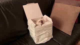 Embla chewing on a cardboard box || Odin & Embla the Birman kittens