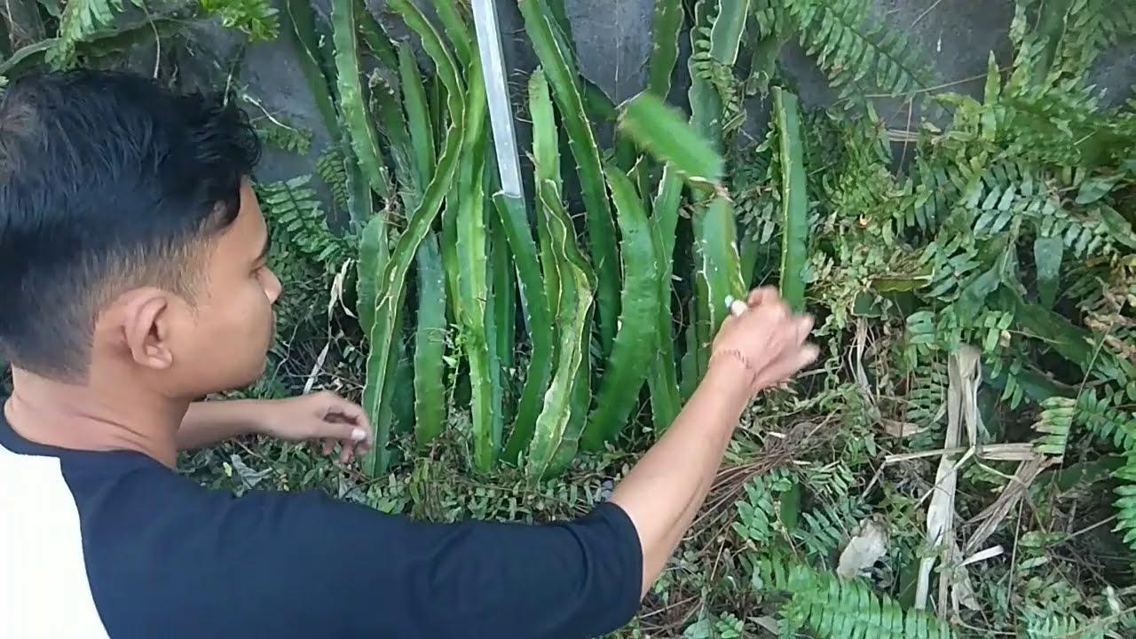 How To Bonsai Dragon Fruit Pitaya Fruit Bonsai Youtube