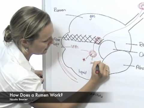 How Does a Rumen Work