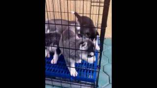 Siberian Husky Puppies Black And White