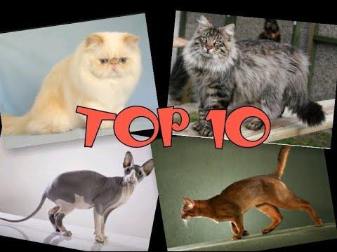 TOP 10 nejoblíbenějších kočičích plemen