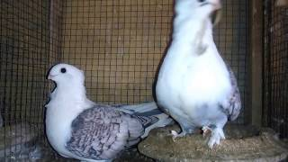satinette pigeons breeder pair 03459442750 Zain Ali farming in Pakistan