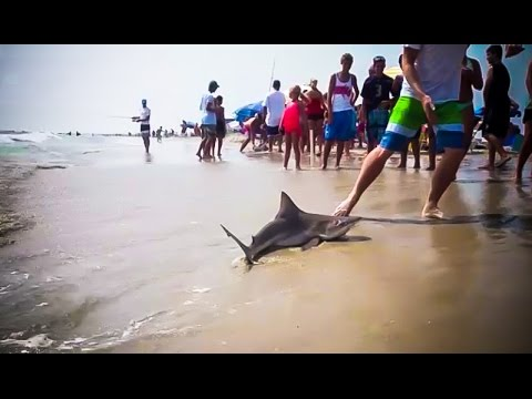 brown shark fishing from the beach ocean city new jersey