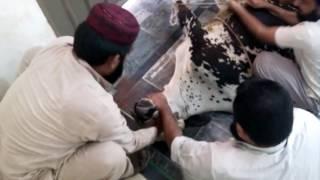 cow qurbani 2014 part 2