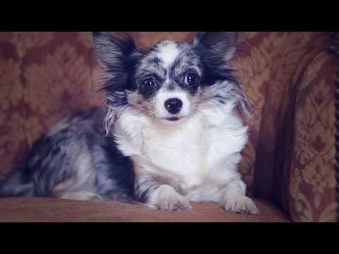Как воспитывать щенка, воспитание щенков | Чихуахуа Софи