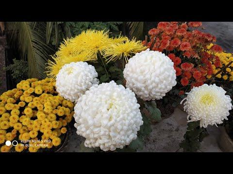 Care Of Snowball Chrysanthemum || স্নোবল চন্দ্রমল্লিকা গাছের পরিচর্যা ।   #Chrysanthemum  #flower
