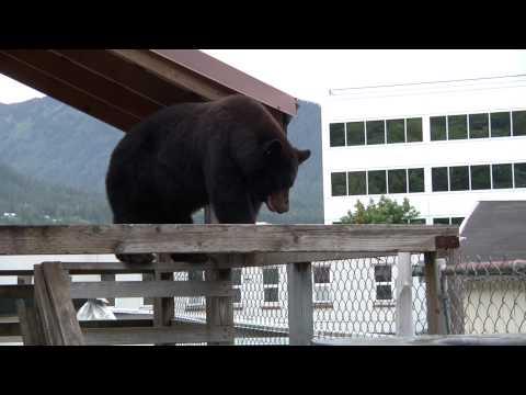 Bear on a Wet Tin Roof - Juneau, AK
