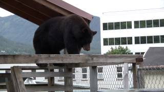 Bear on a Wet Tin Roof - Juneau, AK
