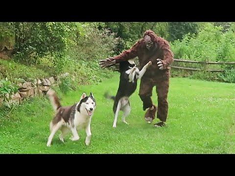 Huskies vs Bigfoot Prank - Funny Dogs