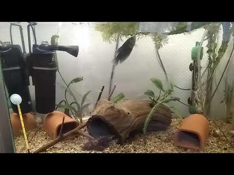 Нерест гурами в общем аквариуме (видео нереста).