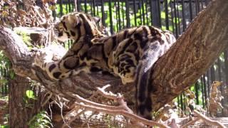 Дымчатые леопарды 15.08.2017
