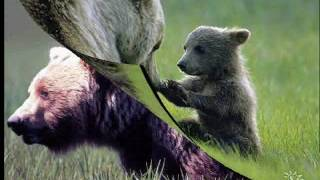 Фильм  Животный мир  Бурый медведь