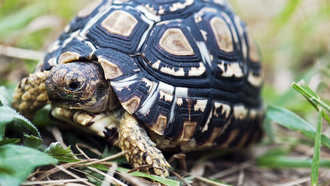 R Turtles Good Pets How to Clean a Land Tu...