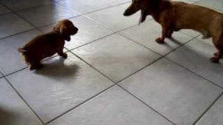 Mini Dachshund Puppy - Cute! Baby Girl & Dad Playing Then The Baby Boy Joins In While 2nd Girl Looks On.
