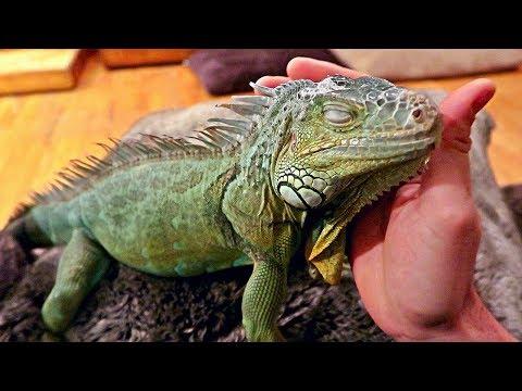 Iguana Loves Pets Like a Dog