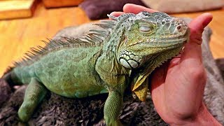 Iguana Loves Pets Like a Dog