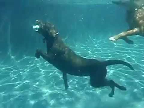 Bailey (the lab) diving with Ali (the crazy boxer)