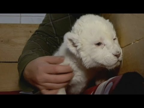 White lion cub meets the media in Belgrade