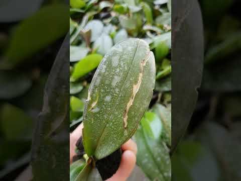 Орхидея - Мисия спаси орхидея Plants.bg