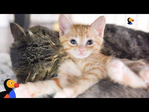Grumpy Street Cat LOVES Being A Grandpa To Foster Kittens  GRANDPA MASON | The Dodo