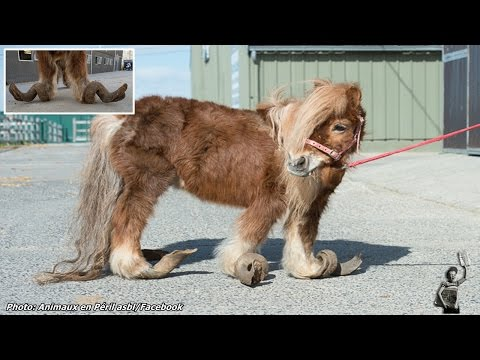 Neglected Pony's Hooves Grew So Long He Couldn't Walk
