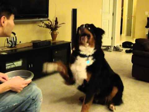 Kodo - Smarter than your average bear - Bernese Mountain Dog tricks - Part 2
