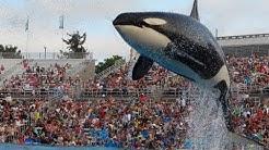 Shamu Show at Sea World San Diego July 2013 HD