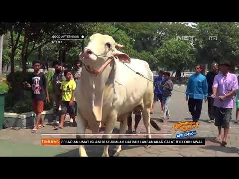 Sapi Kurban Presiden Jokowi Tiba Di Masjid Agung Surabaya