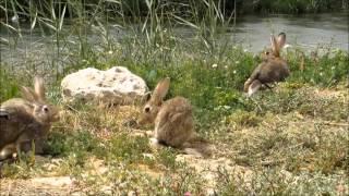 اطلاق الأرنب في وادي حنيفه في الرياض- Rabbits - HD