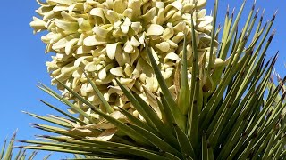 Yucca care conditions: lighting, temperature, watering, soil mix