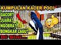Kumpulan Burung Kacer Poci Gacor Super Terbaik Rekomendasi  Mp3 - Mp4 Download