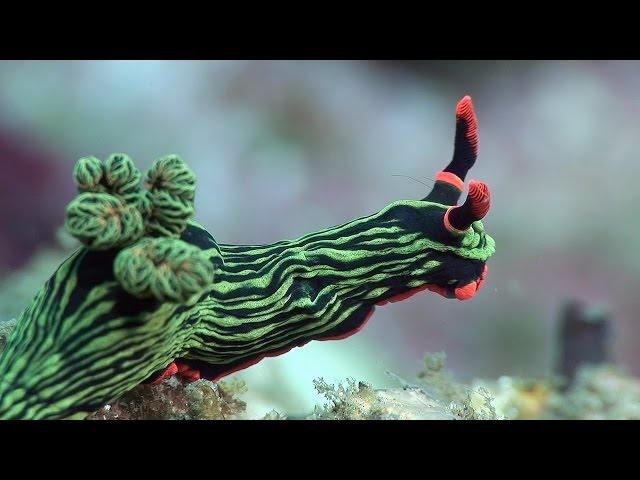 Mucky Secrets – Part 18 – Sea Slugs inc. Nudibranchs – Lembeh Strait