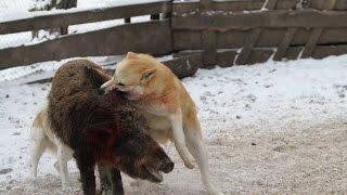 Испытание и дрессировка собак для охоты в HD