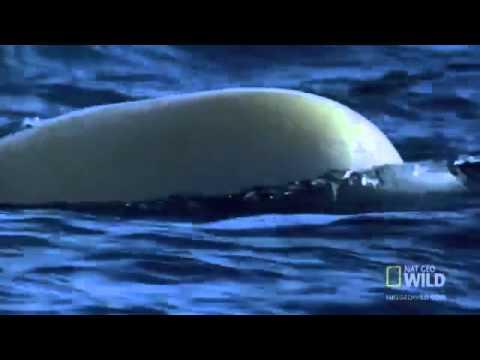 World's Weirdest   Baby Beluga Beached
