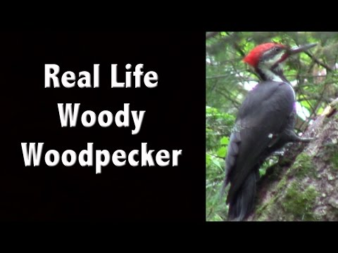 I Meet the Real Life Woody Woodpecker - Check out this Pileated Woodpecker footage