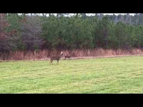 Poacher Shoots Deer Right In Front Of Us