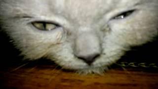 Котенок говорит ОТСТАНЬ. Самое милое видео! VivaVideo!