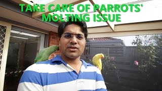 How to take care of your parrots molting issue or feather loss