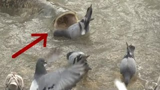 MONSTER CATFISH HUNT PIGEON IN SLOW MOTION by CATFISHING WORLD
