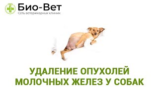 Удаление опухолей молочных желез у собак. Ветеринарная клиника Био-Вет.