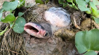 Amazing Finding a Lot Of fish In Dry Land Fish By Fisher man on Dry Season