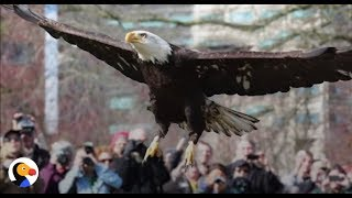 Rescued Eagle Flies Back To The Wild as Hundreds Watch | The Dodo