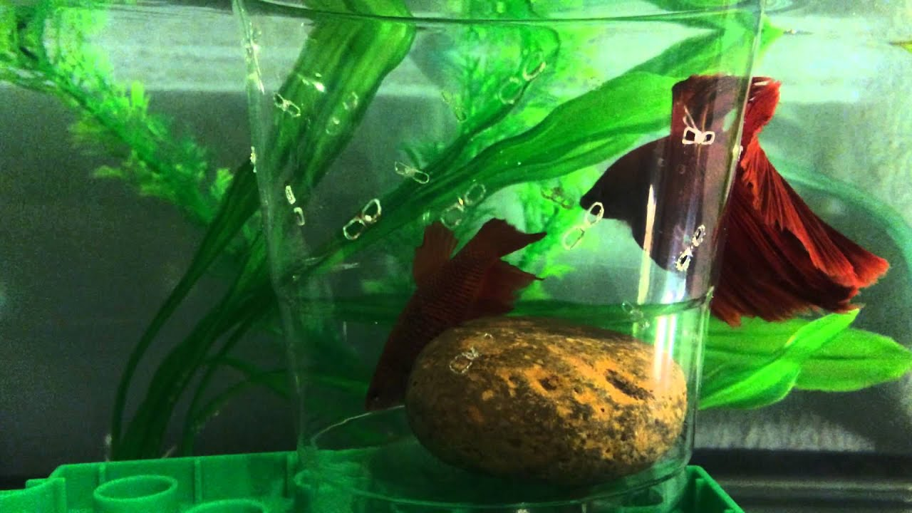 betta fish breeding techniques Betta fish series – types of betta fish  breeding your betta  betta fish series – suitable betta tank mates  (tag) was started to provide high-quality aquarium and aquascaping information, articles, and techniques in an easy to use and understand format our primary topics include aquascaping, tank guides, equipment reviews, and.