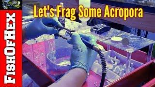 Lets Cut Some Acropora | 200 Gallon Frag Tank