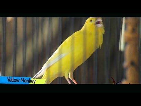 Kenari Gacor Juara Nasional - Yellow Monkey Owen SF Ronggolawe