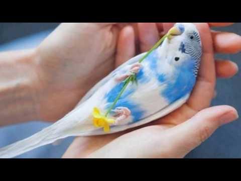 Вопрос: Сколько живут волнистые попугаи с ожирением?