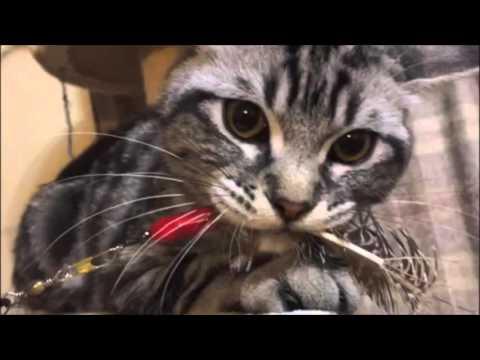 おもちゃに唸る猫